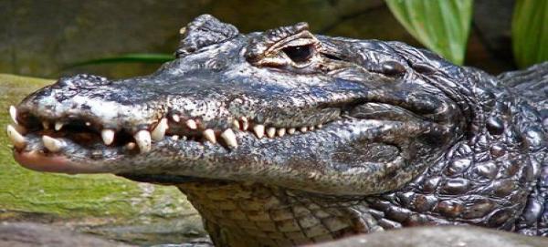 Caimanes en el Sur de la Florida