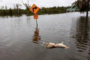 Un animal perece ahogado por las inundaciones de Isaac en New Orleans