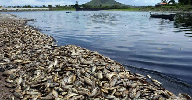 500 toneladas de peces mueren a causa de un derrame de melaza